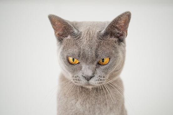 angry-animal-cat-1331821.jpg