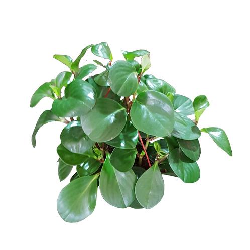 עציץ פפרומיה קהה (ירוקה) - צמחי בית - עציצים פרחי אתי