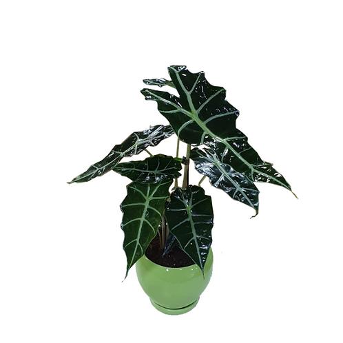 אלוקסיה - צמח ביתי בכלי קרמיקה בצבע ירוק בהיר