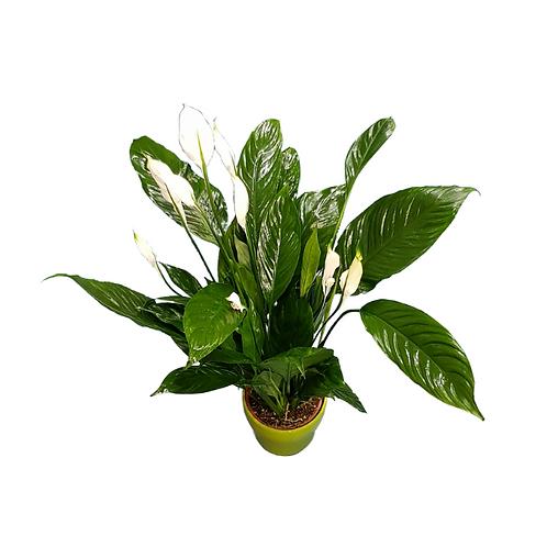 עציץ ספטיפיליום - צמחי בית - עציצים פרחי אתי