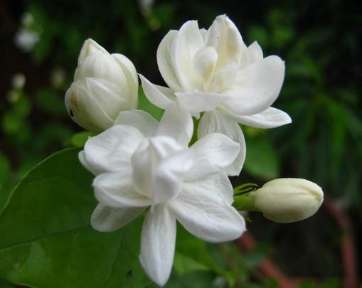 פרחי סתיו - יסמין