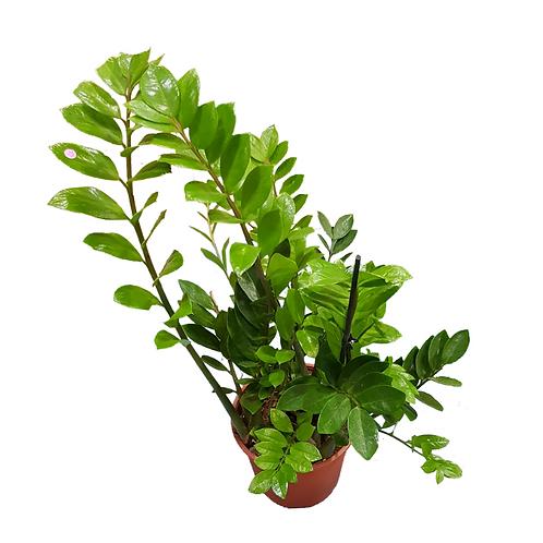 עציץ זמיה - צמחי בית - עציצים פרחי אתי