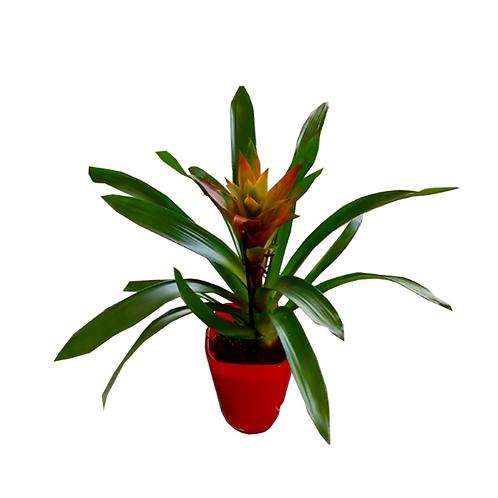 House plant Guzmania lingulata