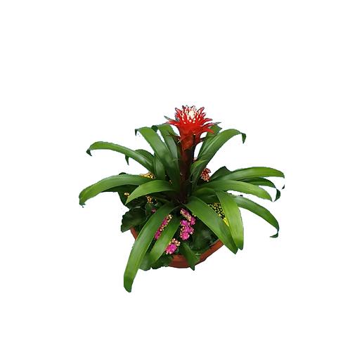 קוקטייל גוזמניה הופ - צמחי בית - עציצים פרחי אתי