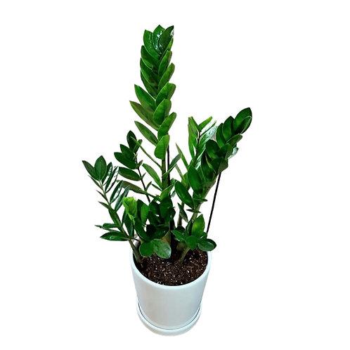 עציץ זמיה בכלי קרמי - צמחי בית - עציצים פרחי אתי