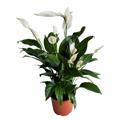 צמח ספטיפיליום