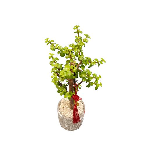 עץ הכסף והשפע - פורטולוקריה - עציצים פרחי אתי