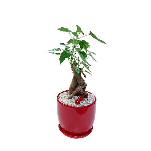 בונסאי - עץ האהבה