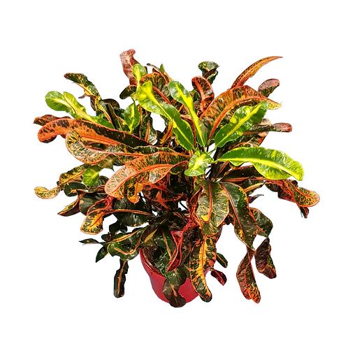 קרוטון מסולסל - צמחי בית - עציצים פרחי אתי