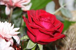 פרחים ורדים