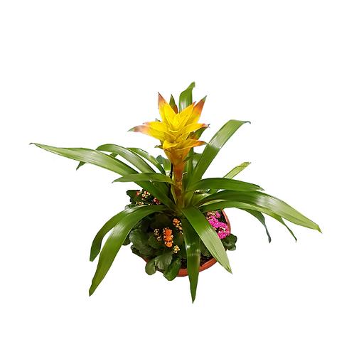 קוקטייל גוזמניה - צמחי בית - עציצים פרחי אתי
