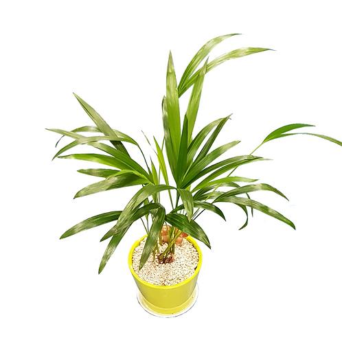 קנציה חמישיות - צמחי בית - עציצים פרחי אתי