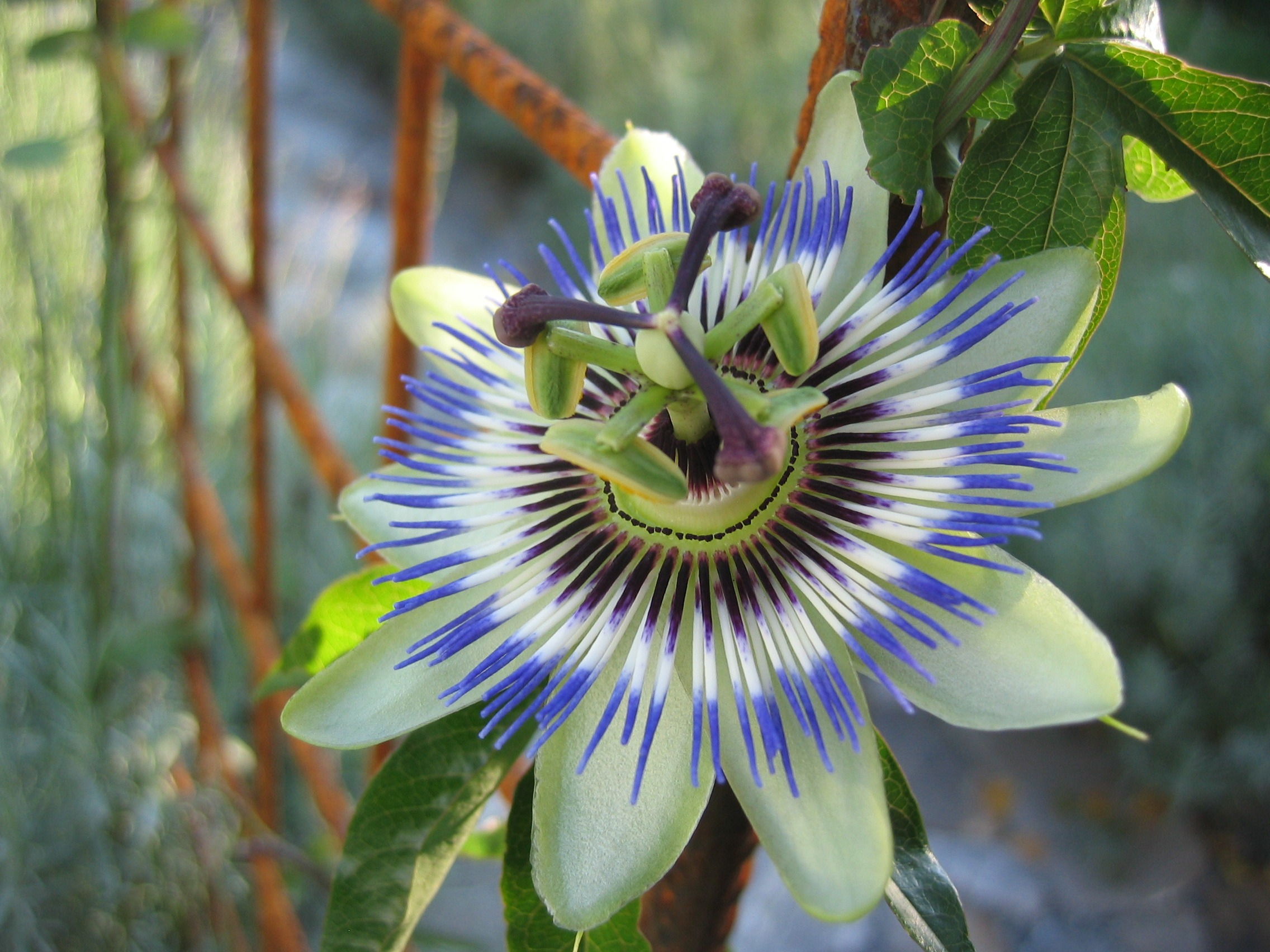 passion-flower-191583