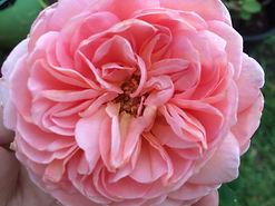Abraham Darby Rose.jpg