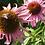 Thumbnail: Echinacea Tincture - 2 oz Vodka Infusion