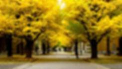 GinkgoTree_TopPage1.jpg