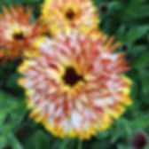 Calendulalala _) #farmlife #flowerlife #goodlife #sauvieislandorganics