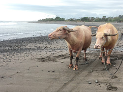 Walk with buffaloes in paddies