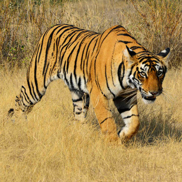 "RAJASTHAN for BBC Wildlife || ""Bagh to soonghkegaya,"" says Amarsingh Gurjar – the tiger sniffed me and left. ""It was like she wanted to tell us that she approved of what we're doing to help. 'You are my savior and I will not hurt you,' the tiger told me."""