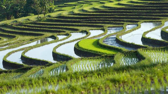 Soka rice terraces Pemuteran.JPG