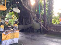 Bunut Bulong sacred tree
