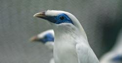 Bali starling breeding centre-4