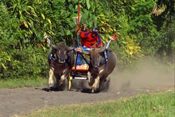 Buffalo races Negara