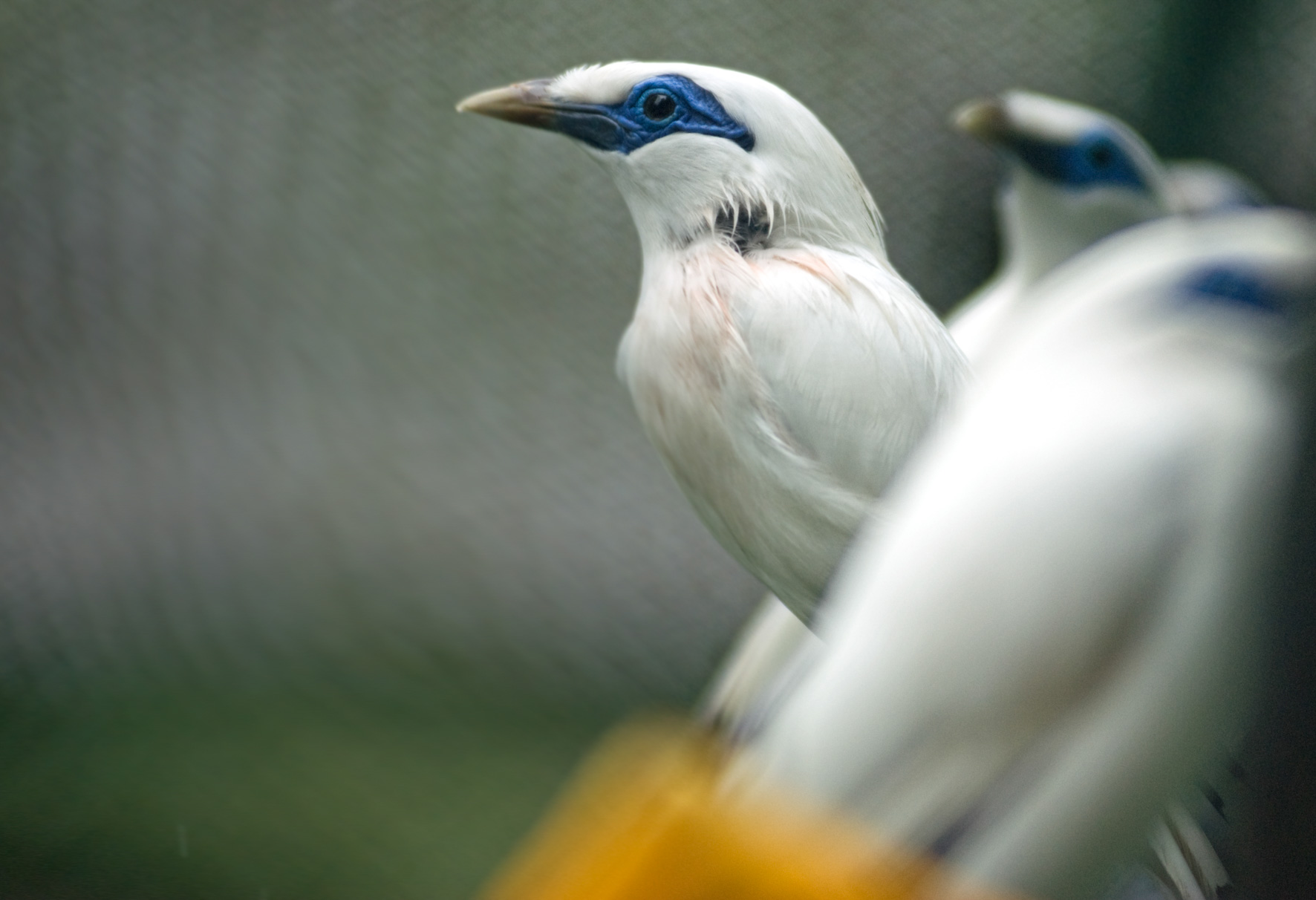 Bali starling breeding centre-2