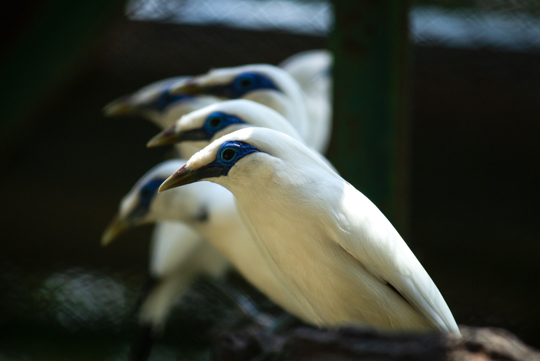 Bali starling breeding centre-9