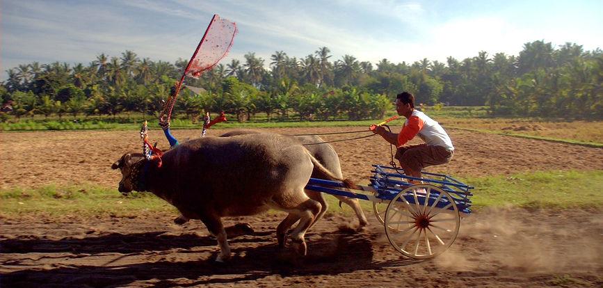Guide to buffalo races in Negara