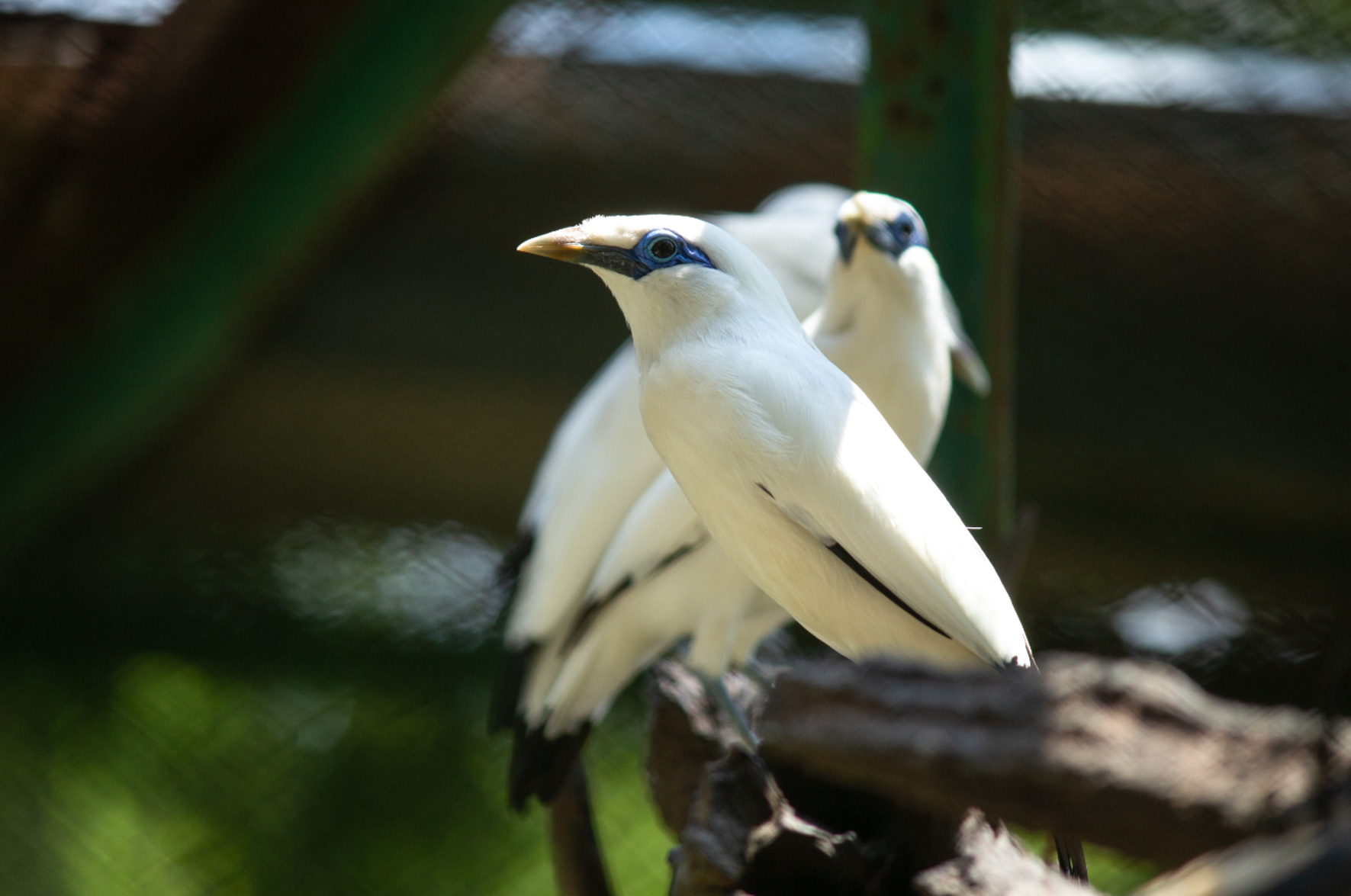 Bali starling breeding centre-10
