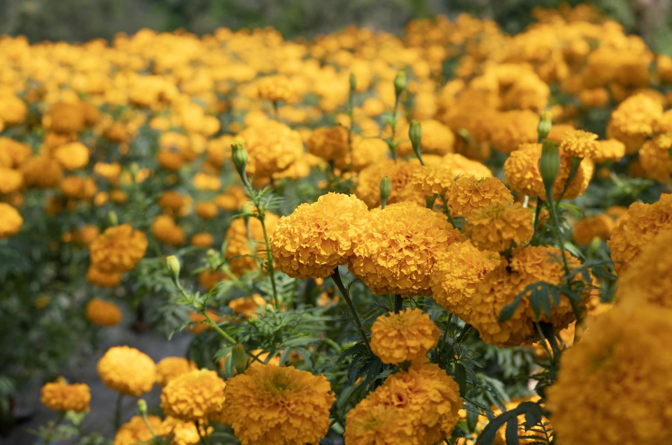 Marigold field near Negara