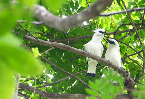 Bali Starling West Bali National Park.jp