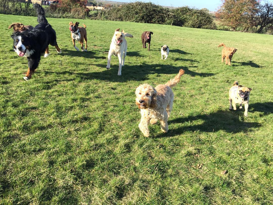 Group dogs running