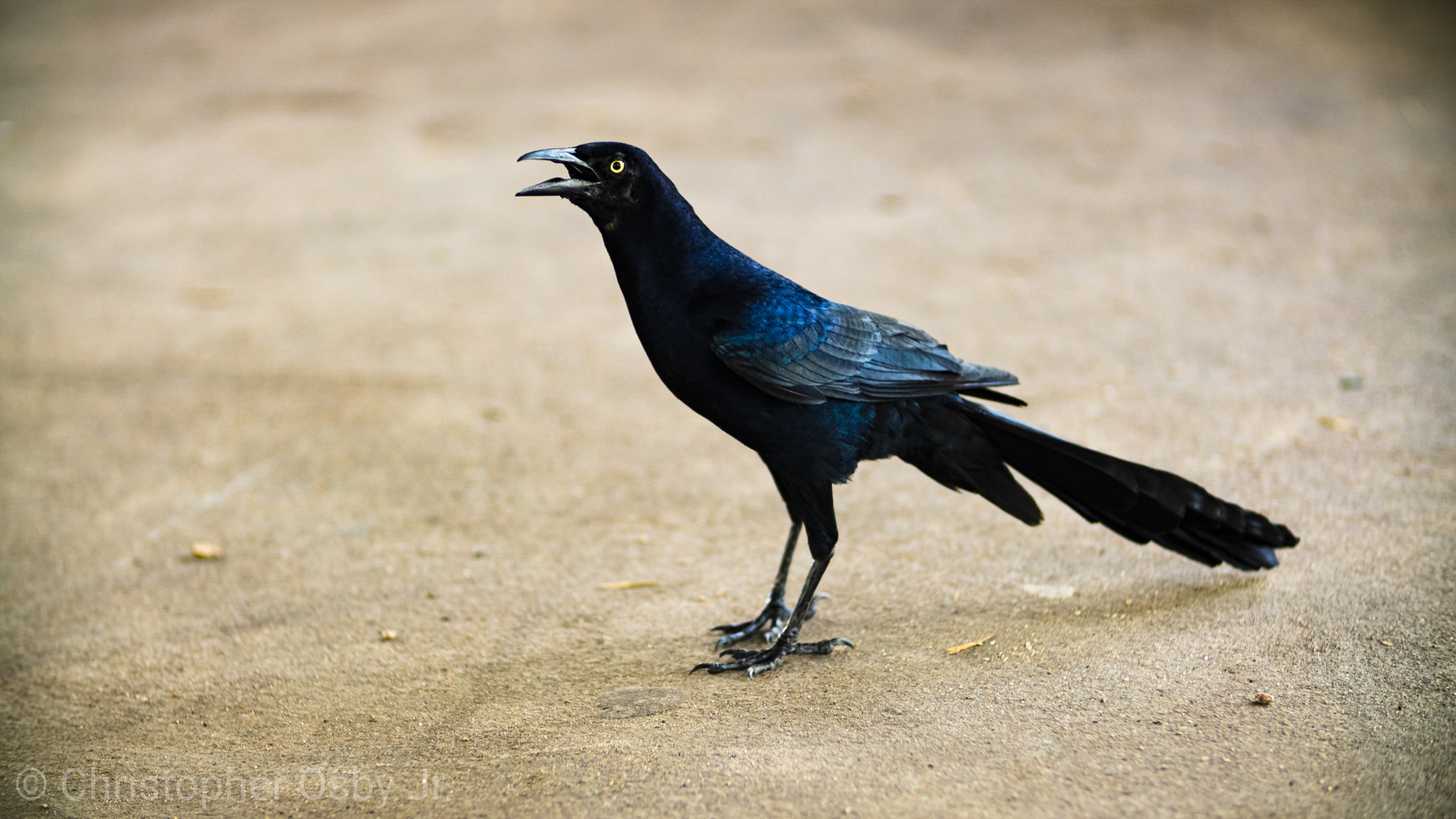 Crow_Arthur Storey Park.jpg