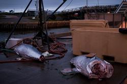 Tuna capital of the world