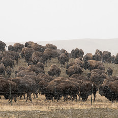 Buffalo herding