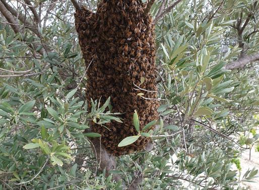 Sauvetage d'un essaim d'abeilles