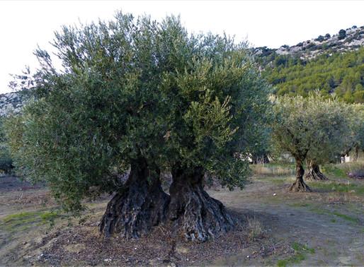 Die Olivenbäume von Beaumes-de-Venise