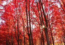 IMG_8051 nature red trees fair edit.jpg