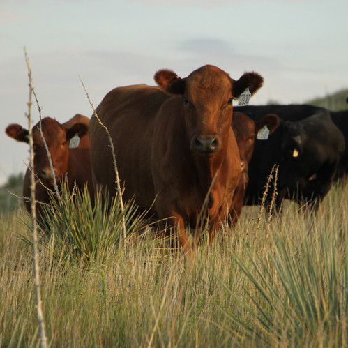 I chose to include this photo of a herd of cows because I like how I was able to capture a whole herd but focus on one.