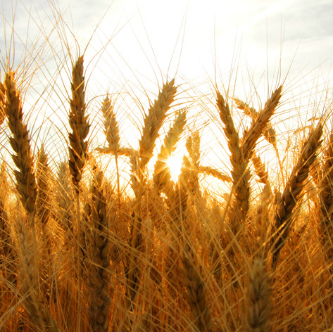I took this photo in a wheat field when the sun was setting. I like how I was able to capture a sunflare through the wheat and the saturated colors.