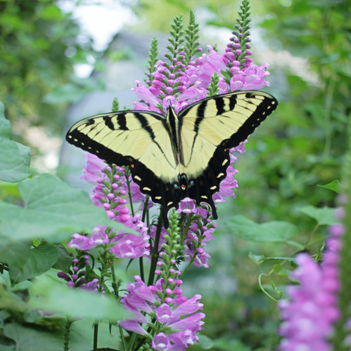 I like how the purple flowers contrast from the butterfly in this photo.