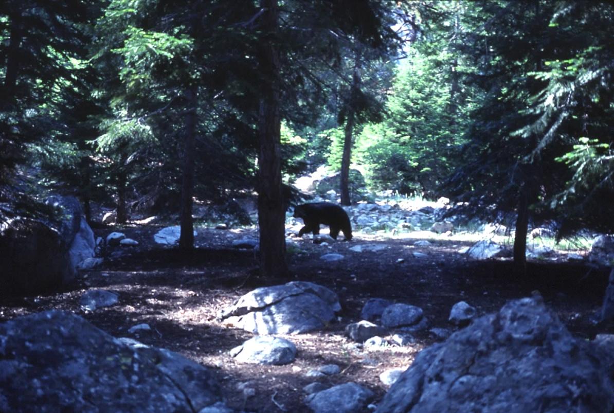 Ralph the Bear