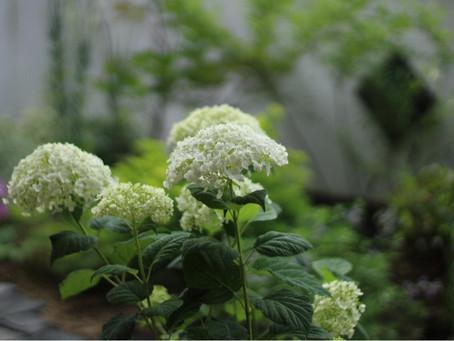 アナベルの咲く庭に。