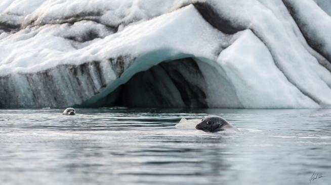 GLACIER SEAL