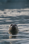 ICELAND SEAL
