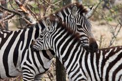 Zebra-mum-and-baby-mara-kenya