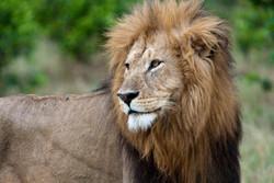 Male lion side profile