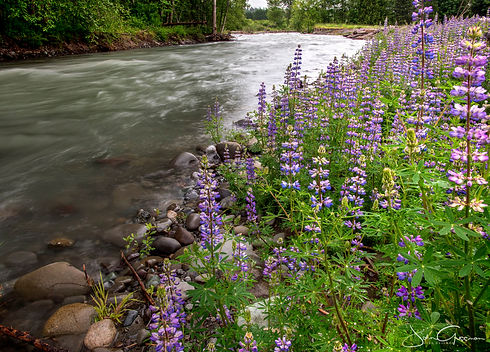 Dungeness River Lupines.jpg
